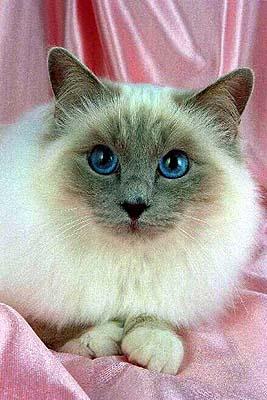 Фотографии бирманских кошек (порода Священная Бирма)